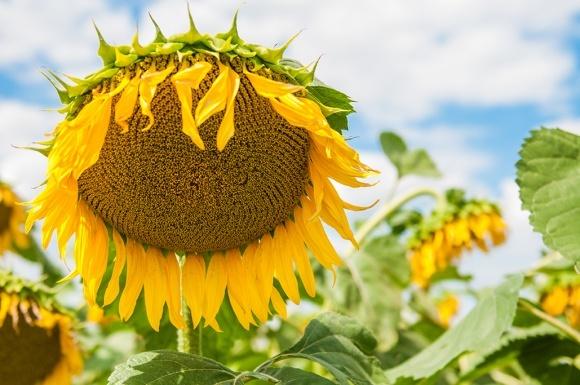 Агролайфхак: какие сидераты использовать перед посевами подсолнечника фото, иллюстрация