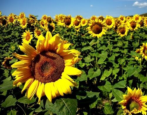 Україна виступила драйвером зниження прогнозу світового врожаю соняшнику фото, ілюстрація