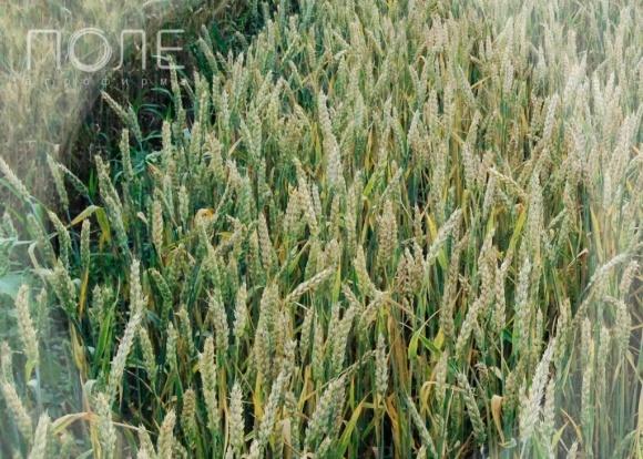 «Агрофирма Поле» намерена покорить Североамериканский континент фото, иллюстрация