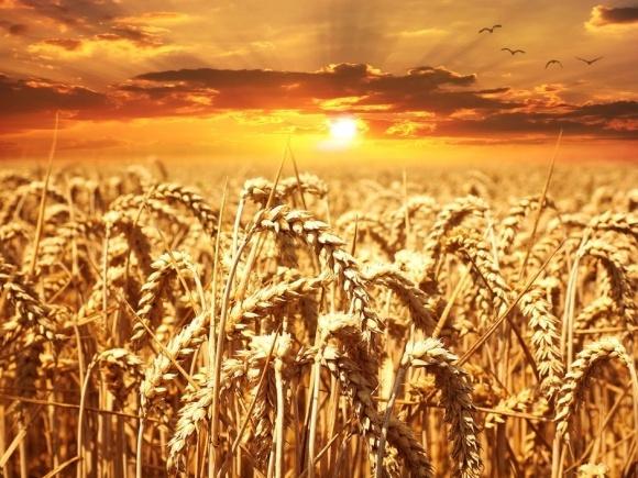 Урожай зерна снизится на четверть из-за изменения климата фото, иллюстрация