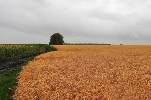 Жара в Европе приведет к снижению урожая зерновых фото, иллюстрация
