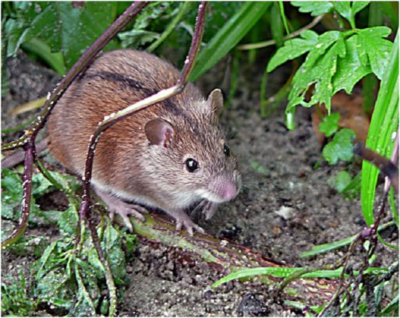 Посевы озимих атакуют грызуны фото, иллюстрация