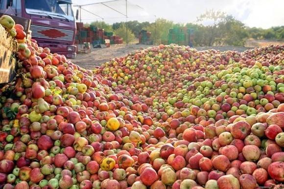 Польський уряд закупить півмільйона тонн яблук удвічі дорожче, ніж дають зараз переробники фото, ілюстрація
