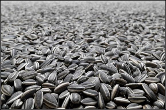 На Дніпропетровщині виявили незаконне перевезення 27 т соняшникового насіння фото, ілюстрація