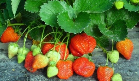 У Польщі сезон полуниці опинився під загрозою: які причини фото, ілюстрація