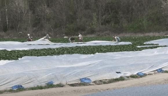 На Закарпатті вже цвіте полуниця, перші врожаї фермери чекають за місяць  фото, ілюстрація