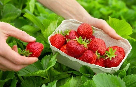 Украинцев активно вербуют на сбор ягод в странах Европы фото, иллюстрация