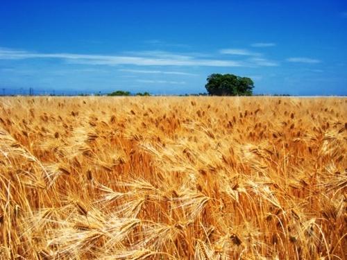 Попередні прогнози вказують на збільшення виробництва пшениці в 2019 році фото, ілюстрація
