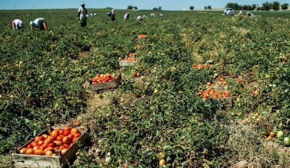 Найбільший в Україні виробник помідорів завершив сезон збирання фото, ілюстрація