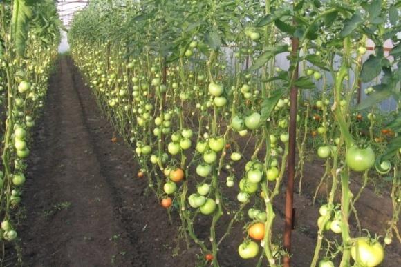 Упаковка из стеблей помидоров поможет сократить отходы при производстве томатов фото, иллюстрация
