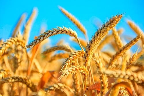 В хозяйствах Донецкой области зерновые обмолочены почти на 13% прогнозируемых площадей фото, иллюстрация