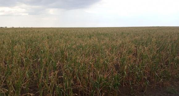 В Одесской области посевы погибли на площади полмиллиона гектаров фото, иллюстрация