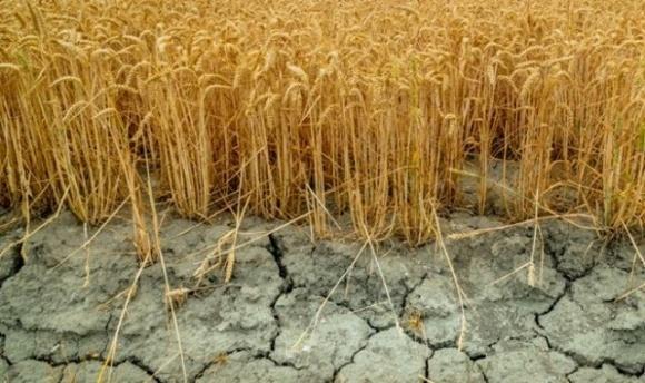 У світі створили перший комерційний ГМО-сорт посухостійкої пшениці фото, ілюстрація