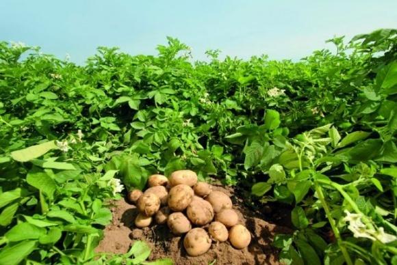 У Кенії вчені вивели нематодостійкі сорти картоплі фото, ілюстрація
