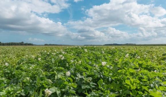 НААН разработала предложения по преодолению кризисной ситуации в области картофелеводства фото, иллюстрация
