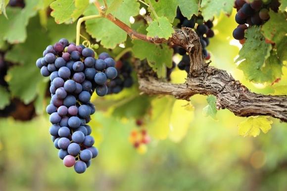 Закарпатські винороби збирають рекордний урожай винограду фото, ілюстрація