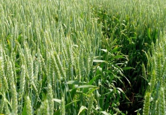 Жизнестойкость озимой пшеницы украинской селекции удивила ученых фото, иллюстрация