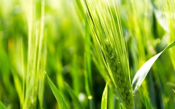 Агролайфхак: плямистість листків пшениці та як зредагувати план захисту фото, ілюстрація