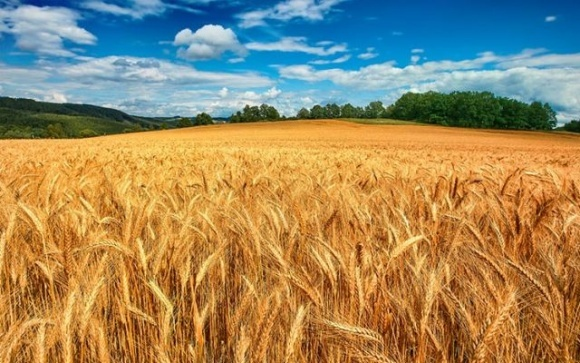 Новая модифицированная пшеница поможет справиться с глобальным недостатком продовольствия фото, иллюстрация