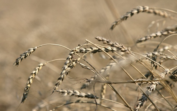 Погода не дозволила аграріям виростити якісну пшеницю фото, ілюстрація