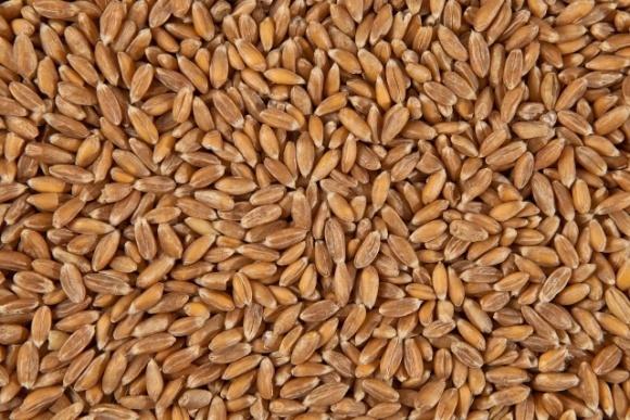 Україна експортувала більшу частину запланованого обсягу пшениці фото, ілюстрація