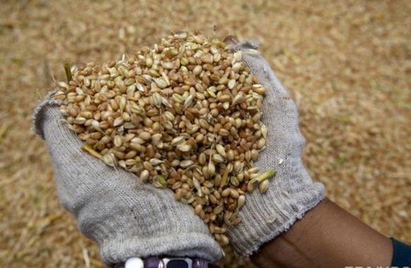 Єгипет залишиться топовим ринком збуту української пшениці фото, ілюстрація