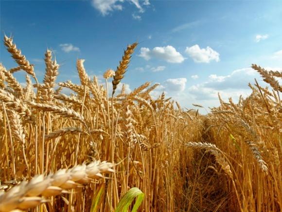 Пора переходить к созданию пшеницы под конкретный продукт, - ученые фото, иллюстрация