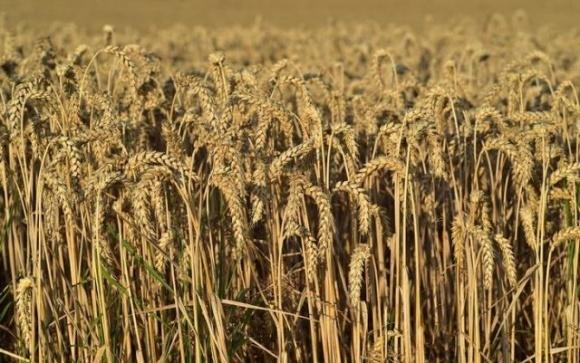 Огромный урожай австралийской пшеницы может сбить цены на мировом рынке фото, иллюстрация