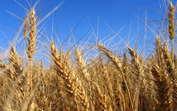 Інститут фізіології рослин і генетики - лідер селекції озимої пшениці, - Мінагропрод фото, ілюстрація