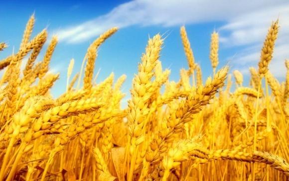 Індія не стане подвоювати мито на імпорт пшениці фото, ілюстрація