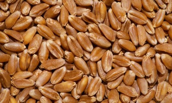 Туреччина придбала в Інституті зрошення 20 т насіння пшениці фото, ілюстрація