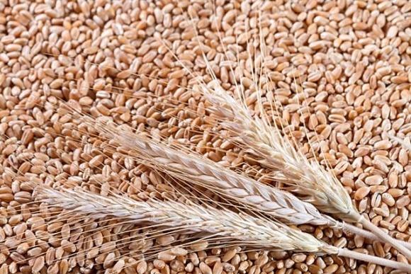 Аграриям не хватает фуражного зерна фото, иллюстрация