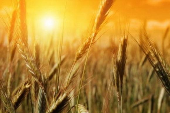 Австралийские аналитики прогнозируют подорожание пшеницы в мире и самый маленький за десятилетие урожай у себя фото, иллюстрация