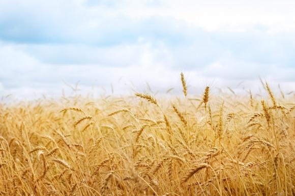 Бангладеш купуватиме українську пшеницю через її дешевизну фото, ілюстрація