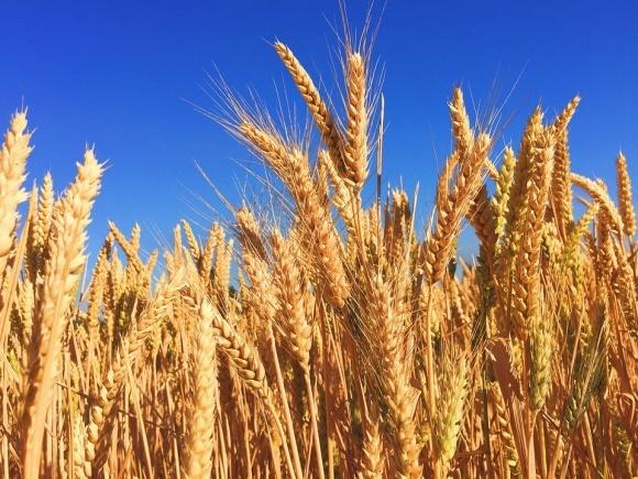 Пшеница: Украино-Мексиканская торговля фото, иллюстрация