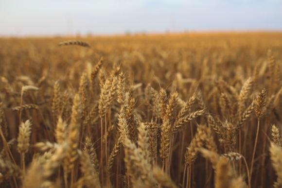 В Індії не вистачає пшениці - будуть купувати нашу фото, ілюстрація