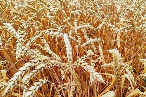 Ціна на Чорноморську пшеницю продовжить зміцнюватися, - трейдери фото, ілюстрація