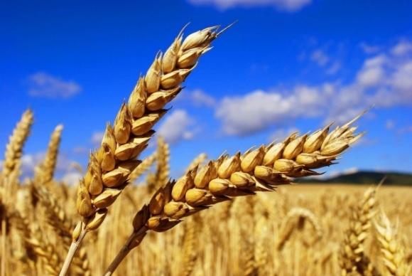 Установлен новый мировой рекорд урожайности пшеницы фото, иллюстрация
