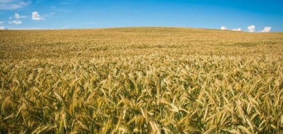 Пшеница может стать второй нефтью на ближайшие годы, – эксперт FAO фото, иллюстрация