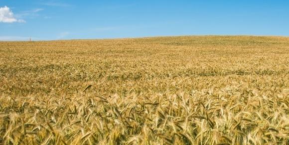 Минсельхоз США сохранил прогноз урожая пшеницы в Украине и снизил для ЕС фото, иллюстрация
