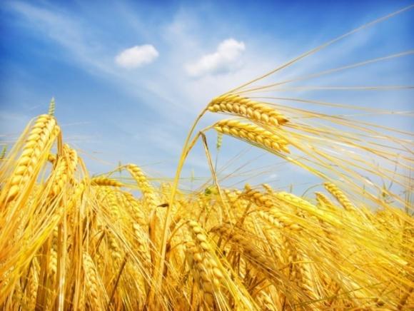 К 2040 году риски выращивания озимой пшеницы в Украине будут наименьшими, — Укргидрометеоцентр фото, иллюстрация