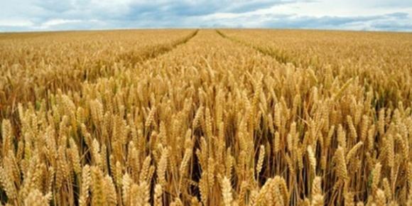 Миронівський інститут пшениці оприлюднив результати досліджень на найвищу врожайність озимої пшениці фото, ілюстрація