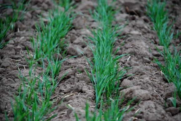 Агролайфхак: оптимальний коефіцієнт кущіння озимої пшениці фото, ілюстрація