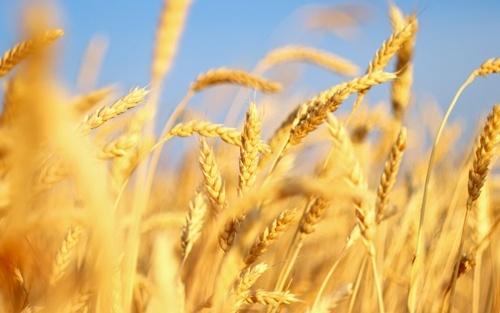 Україна хоче збільшити експорт зерна у Саудівську Аравію фото, ілюстрація