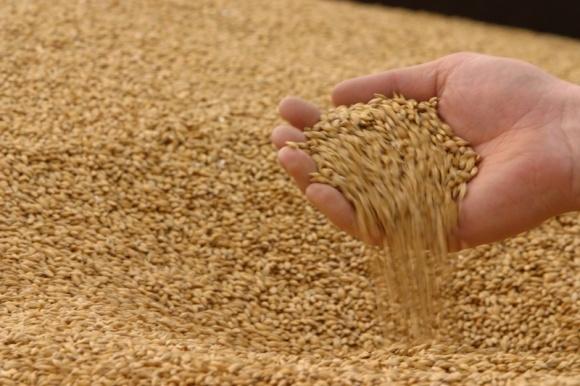 Відразу три світових гіганти скорочують вирощування пшениці фото, ілюстрація