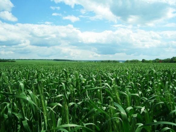 Фунгицидная защита пшеницы: как выбрать оптимальный препарат? фото, иллюстрация