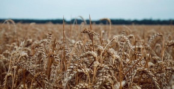 Найближчим часом надійдуть у масовий продаж вітчизняні сорти пшениці нового покоління фото, ілюстрація