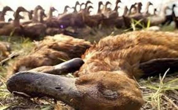 Граждане будут замалчивать о случаях птичьего гриппа, - эксперт фото, иллюстрация