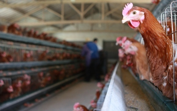Падіння птахівництва зупинить лише повернення арабських ринків? фото, ілюстрація