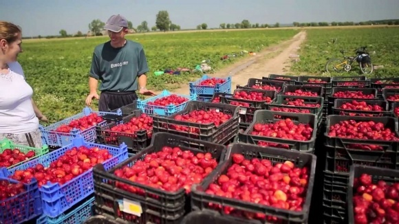 Из-за нехватки рабочих рук большая часть урожая ягод в Польше может остаться на плантациях фото, иллюстрация